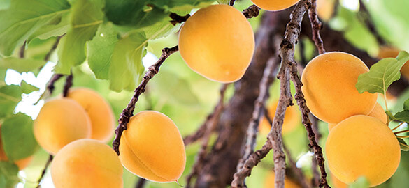 L'huile d'abricot bio Natessance