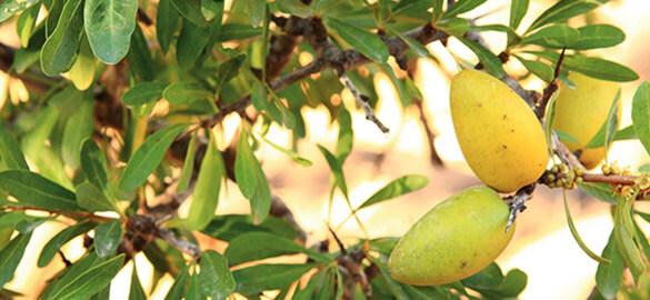 L'huile d'Argan, un ingrédient Natessance®