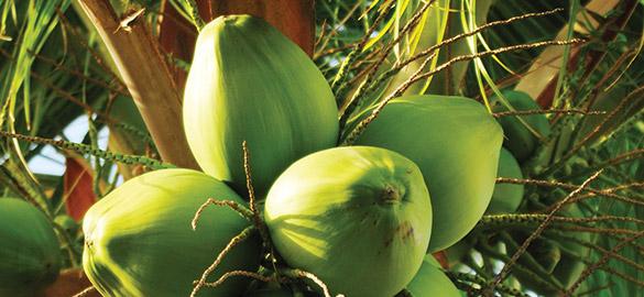 L'huile de coco, un ingrédient Natessance®