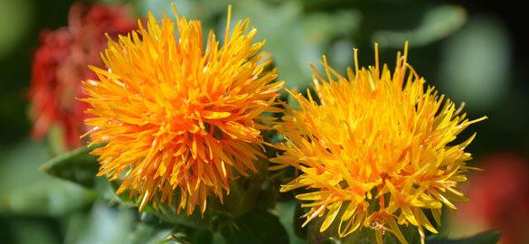 Fleur de carthame bio
